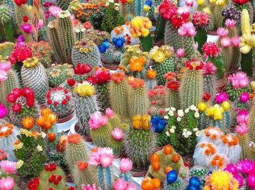 Resultado de imagen para Cactus floridos
