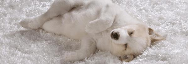 Reformas e Reparos / Aprenda a tirar o cheiro de animais do tapete